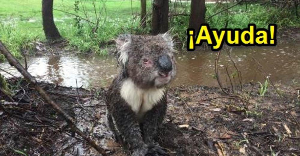 koala-mojado-id