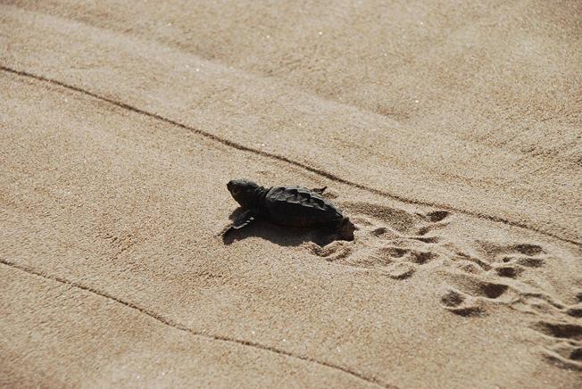 liberan-a-tortugas-bebes-en-valencia2