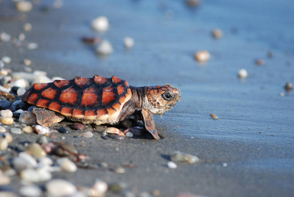 liberan-a-tortugas-bebes-en-valencia4