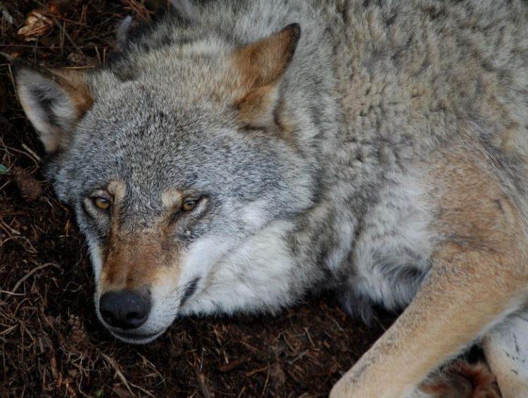 lobos-noruega-2