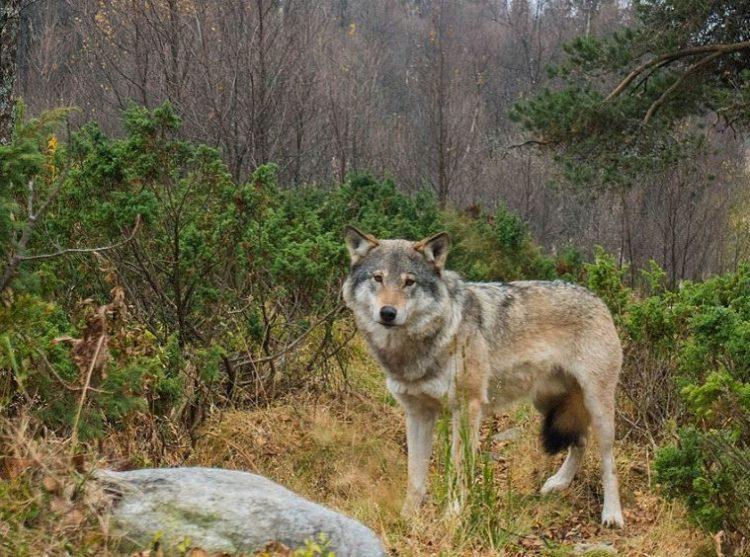 lobos-noruega-6