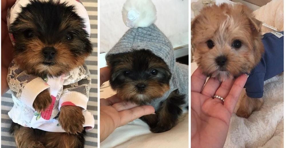 perritos-minitoy-por-que-no-comprarlos