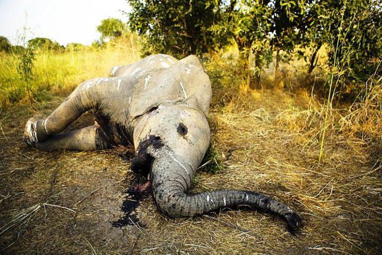africa-ha-perdido-un-tercio-de-sus-elefantes-en-tan-solo-7-anos-1