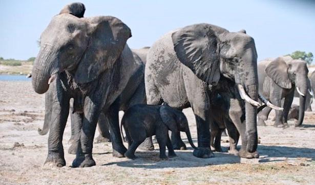 africa-ha-perdido-un-tercio-de-sus-elefantes-en-tan-solo-7-anos-3