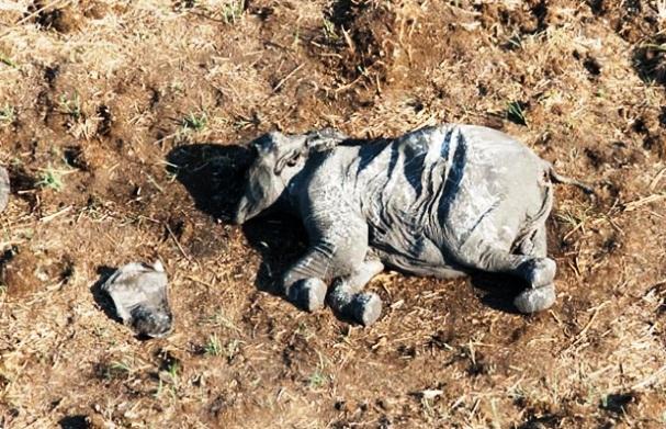 africa-ha-perdido-un-tercio-de-sus-elefantes-en-tan-solo-7-anos-5
