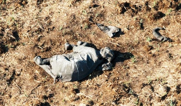 africa-ha-perdido-un-tercio-de-sus-elefantes-en-tan-solo-7-anos-6