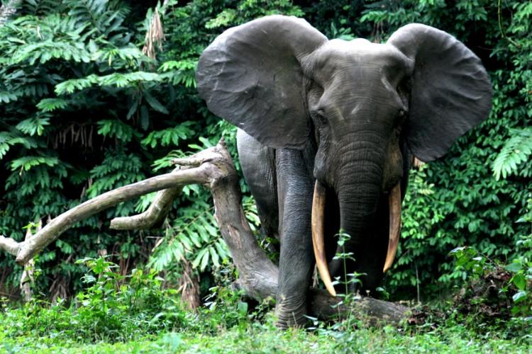 alerta-caza-marfil-elefante-06