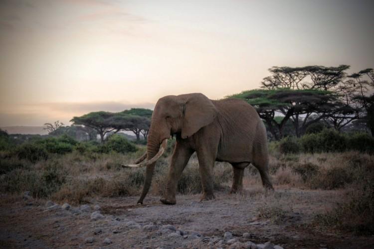 alerta-caza-marfil-elefante-10