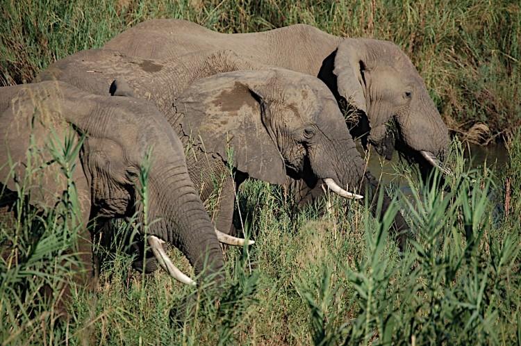 alerta-caza-marfil-elefante-11