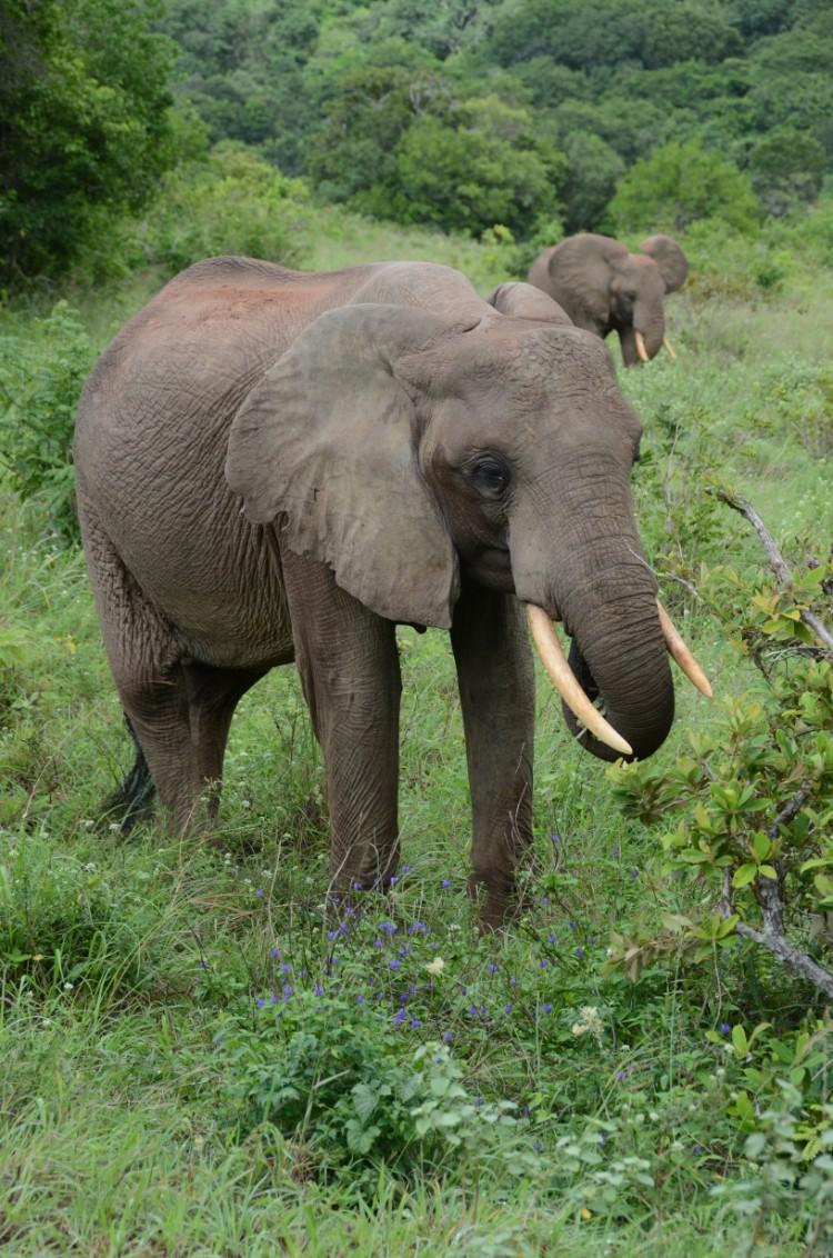alerta-caza-marfil-elefante-12
