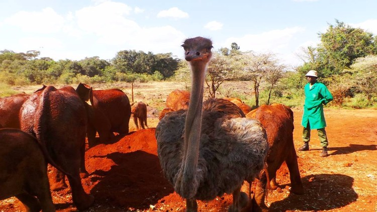 avestruz-cuida-elefantes-02