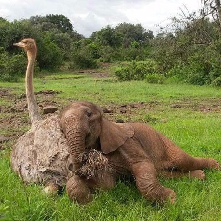 avestruz-cuida-elefantes-03