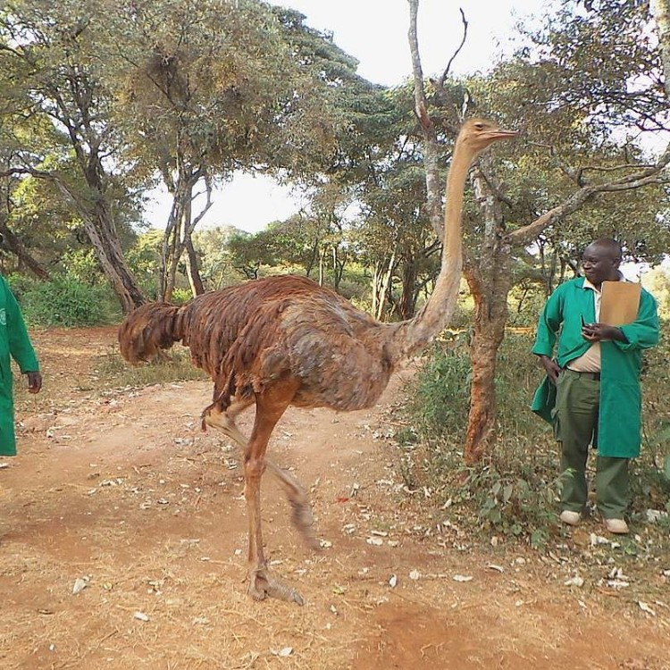 avestruz-cuida-elefantes-04