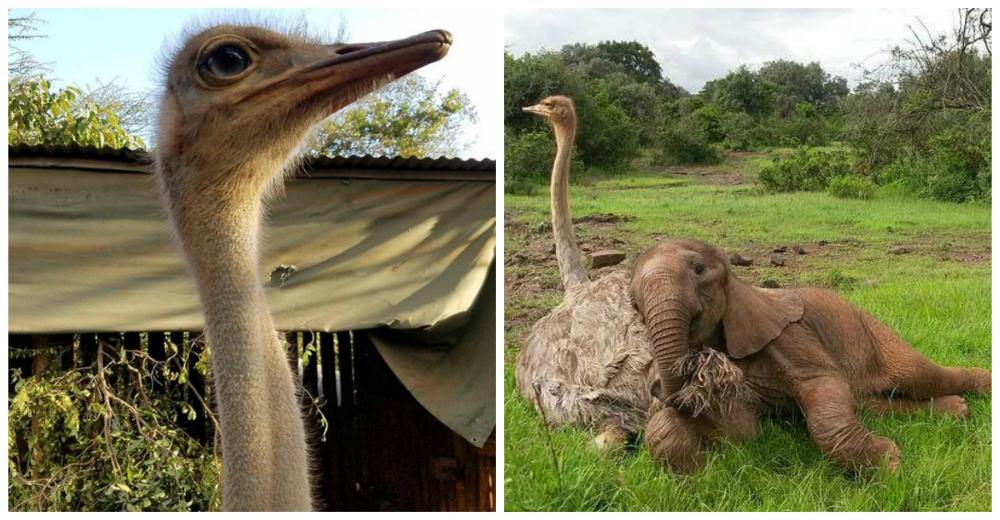 avestruz-cuida-elefantes-portada