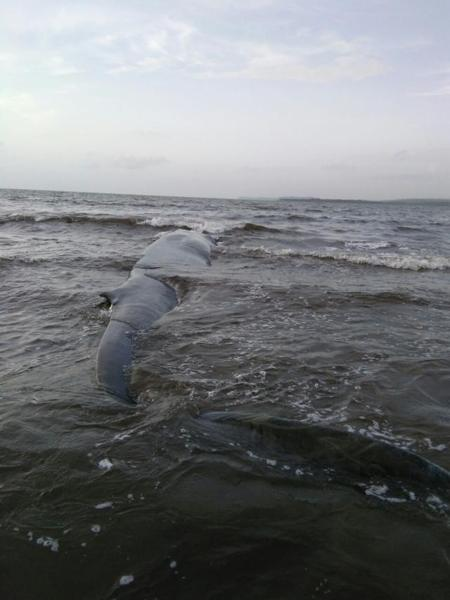 ballena-de-20-toneladas-puede-volver-al-mar-gracias-al-rescate-exitoso-de-grupo-de-personas-en-madban-india-1