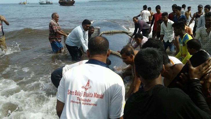 ballena-de-20-toneladas-puede-volver-al-mar-gracias-al-rescate-exitoso-de-grupo-de-personas-en-madban-india-5