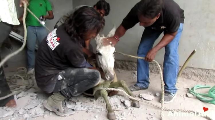burro-cayo-pozo-salvataje-08