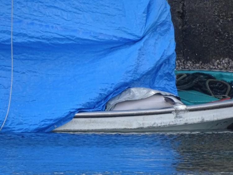 delfin-sin-ganas-de-vivir-japon-09