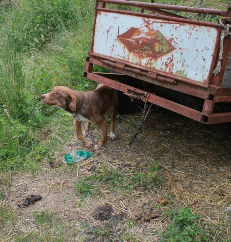 duke-perro-encadenado-a-remolque-en-bulgaria-rescatado-1