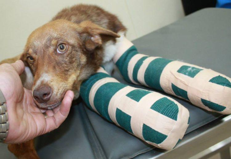 duke-perro-encadenado-a-remolque-en-bulgaria-rescatado-11