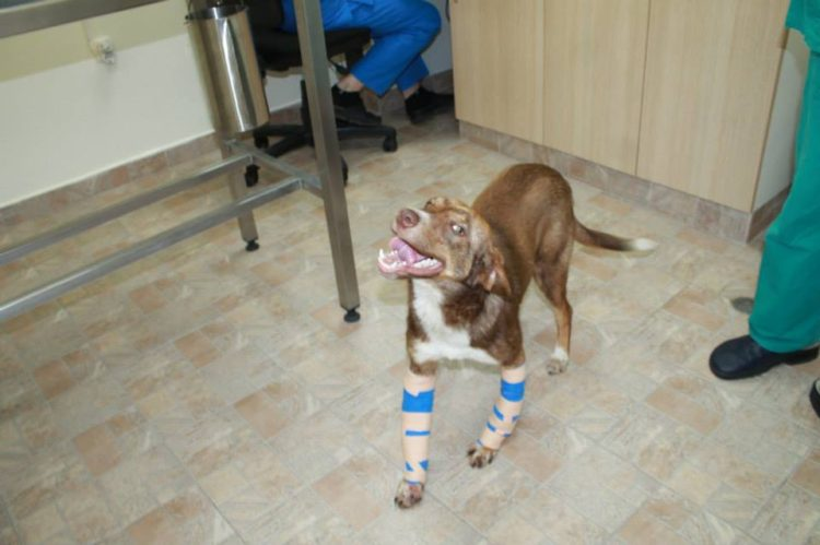 duke-perro-encadenado-a-remolque-en-bulgaria-rescatado-12