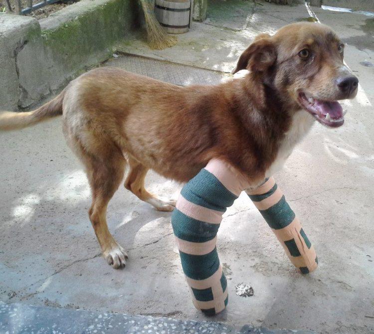 duke-perro-encadenado-a-remolque-en-bulgaria-rescatado-13