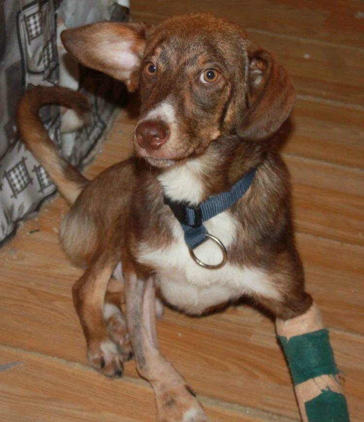 duke-perro-encadenado-a-remolque-en-bulgaria-rescatado-15