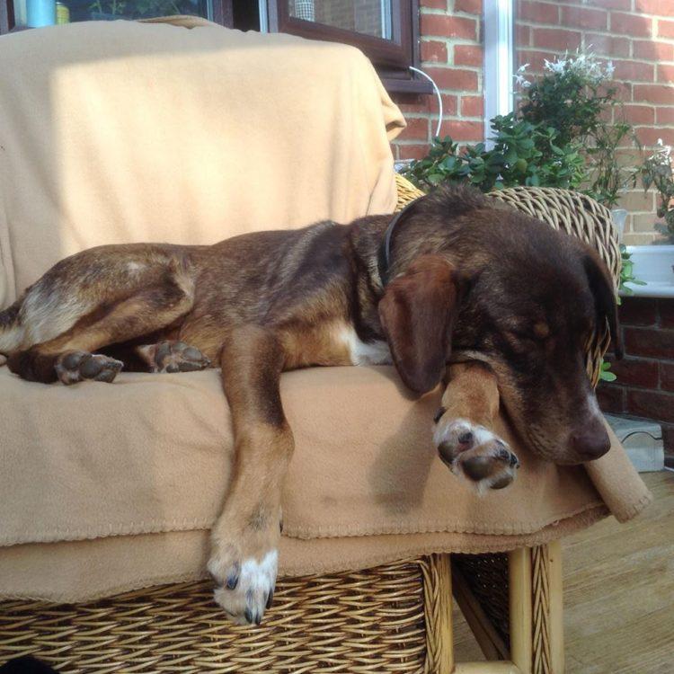 duke-perro-encadenado-a-remolque-en-bulgaria-rescatado-18