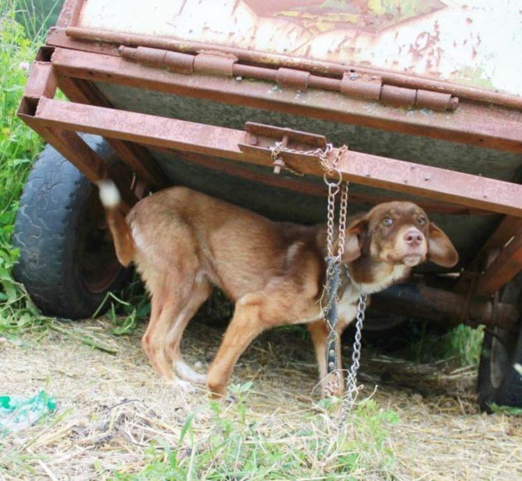 duke-perro-encadenado-a-remolque-en-bulgaria-rescatado-3