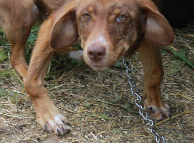 duke-perro-encadenado-a-remolque-en-bulgaria-rescatado-4