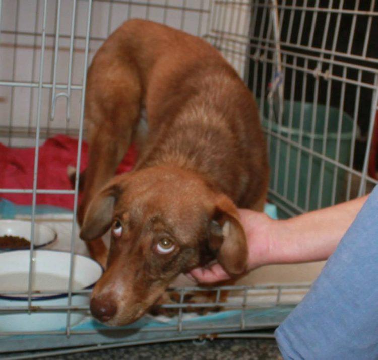 duke-perro-encadenado-a-remolque-en-bulgaria-rescatado-8