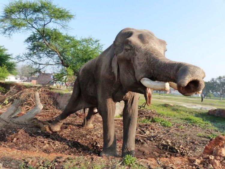 elefane-liberado-1