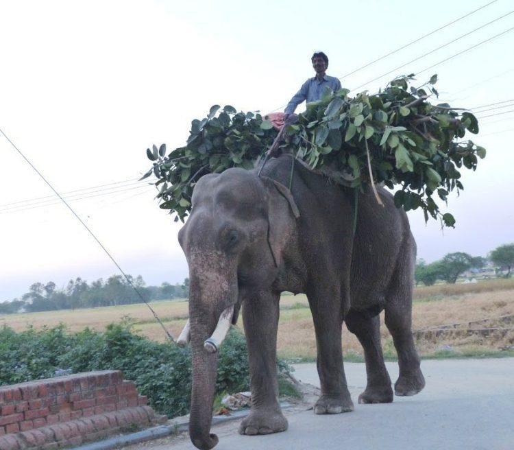 elefane-liberado-2