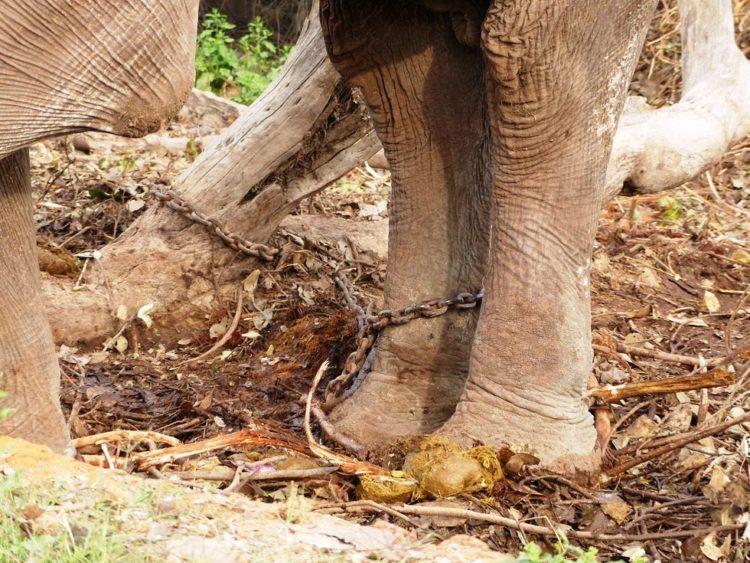 elefane-liberado-3