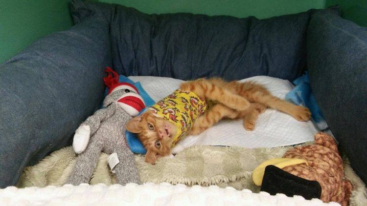 gatito-encontrado-en-la-calle-con-la-espalda-rota-con-ayuda-y-amor-se-recupera-y-vuelve-a-saltar-2