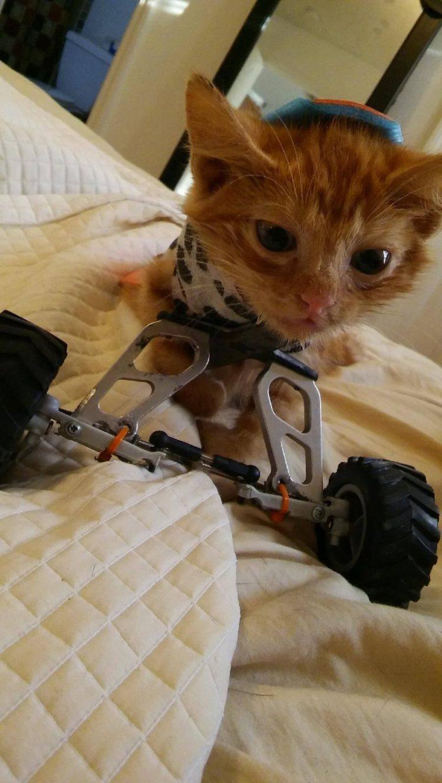 gatito-encontrado-en-la-calle-con-la-espalda-rota-con-ayuda-y-amor-se-recupera-y-vuelve-a-saltar-6