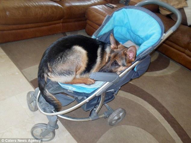 karma-pequena-perrita-pastor-aleman-cree-ser-un-bebe-humano-6