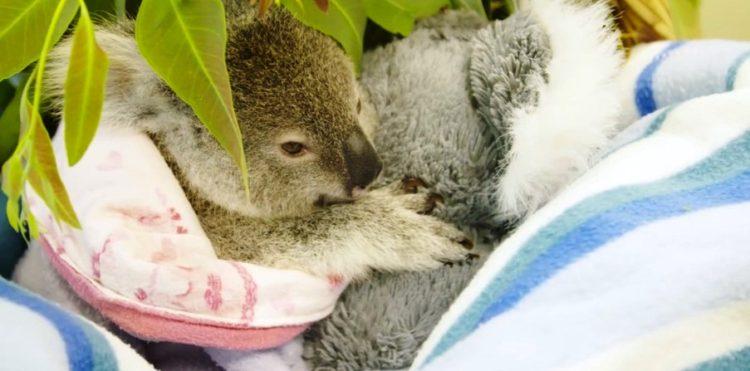 koala-4