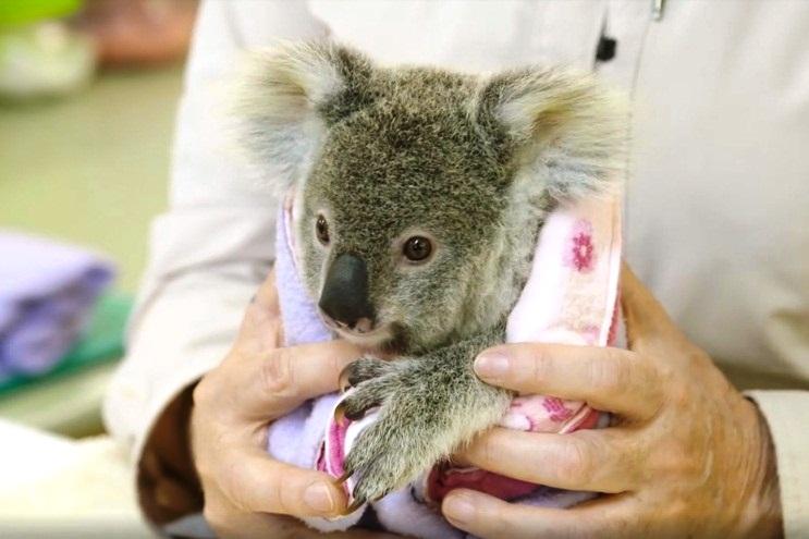 koala-6