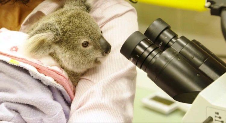 koala-7