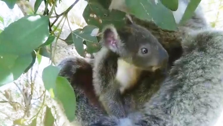 koala-aparece-con-una-sorpresa-12