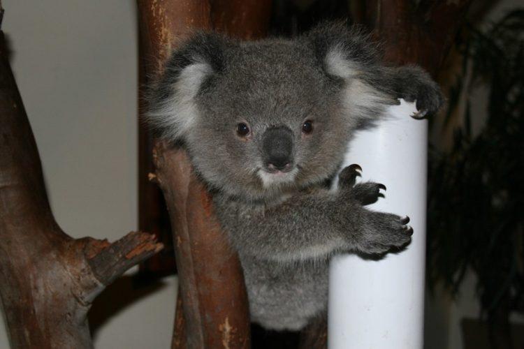 koala-aparece-con-una-sorpresa-2