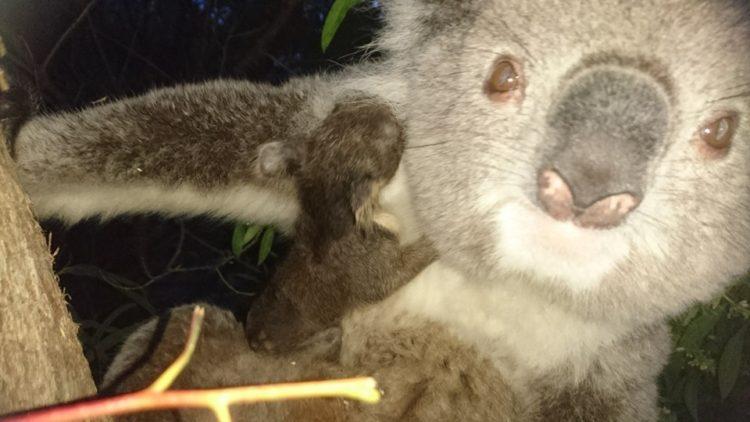 koala-aparece-con-una-sorpresa-5
