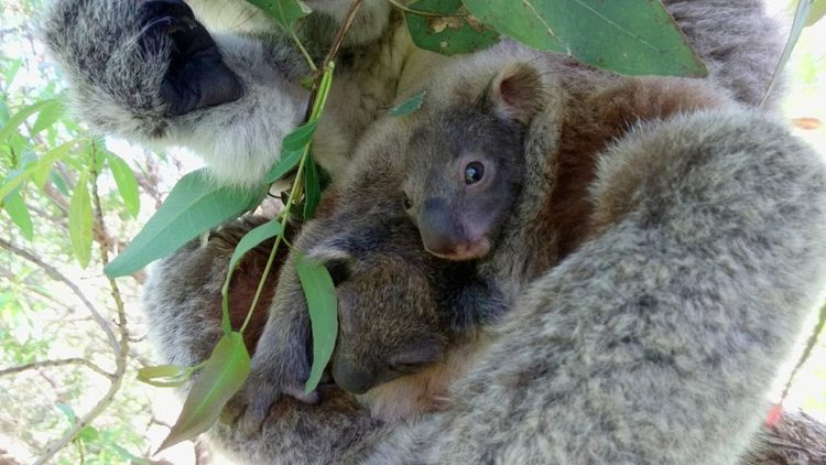 koala-aparece-con-una-sorpresa-6