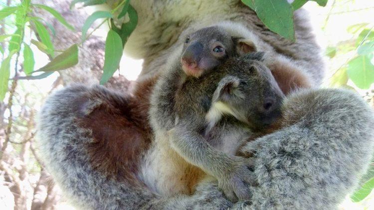 koala-aparece-con-una-sorpresa-7