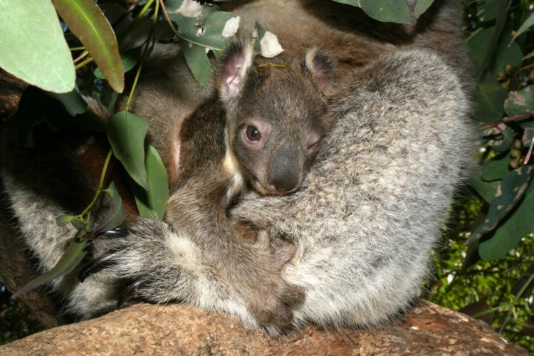 koala-aparece-con-una-sorpresa-8