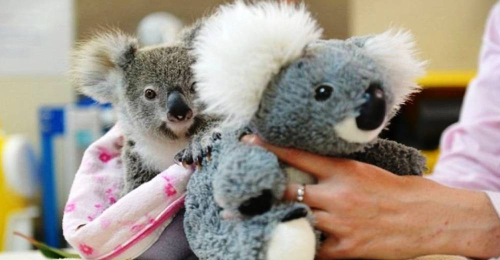 koala-portada