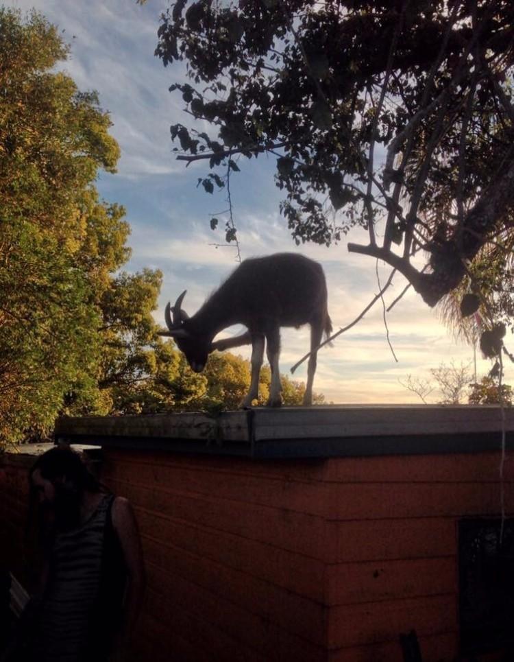 millie-cabra-refugio-australia-07