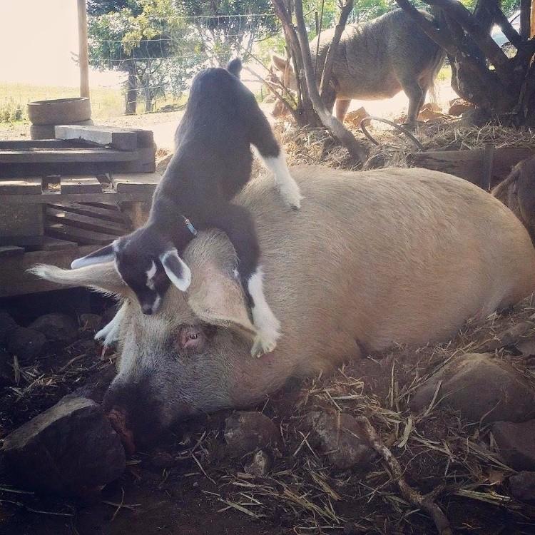 millie-cabra-refugio-australia-14
