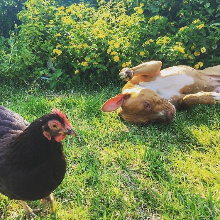 perro-gallina-amigos-01